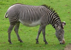 Zebra on African Plains