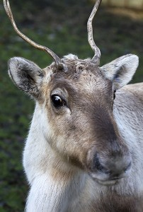Dasher, Prancer, possibly Cupid (but obviously not Rudolph) - one of Santa's reindeer at Santa's Gardens last year