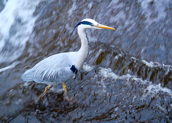 A heron fishing at the weir