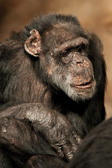 An elder of the Edinburgh Zoo chimp family