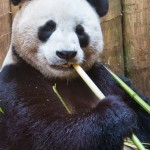...and Tian Tian was hungry!