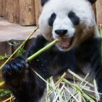 Tian Tian improvises without a table