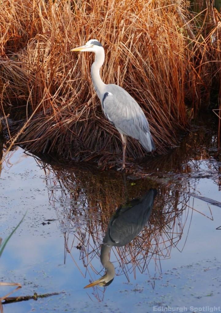 Heron, Inverleith Park