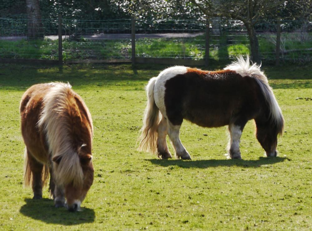 Cute Shetland ponies