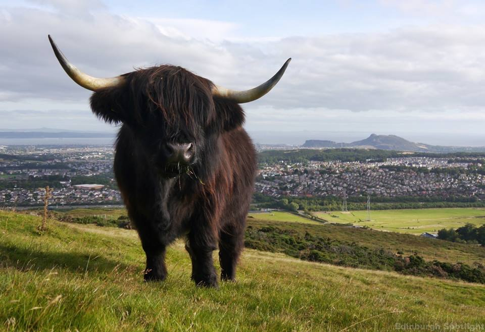 Highland coo with a view!