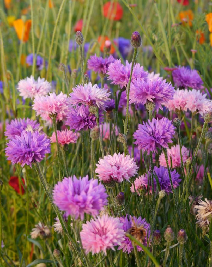 Wild Flowers at Silverknowes