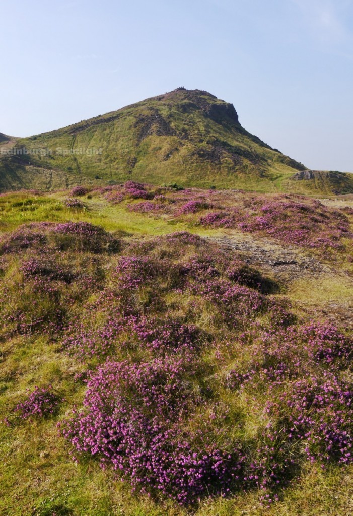 Heather in Holyrood Park