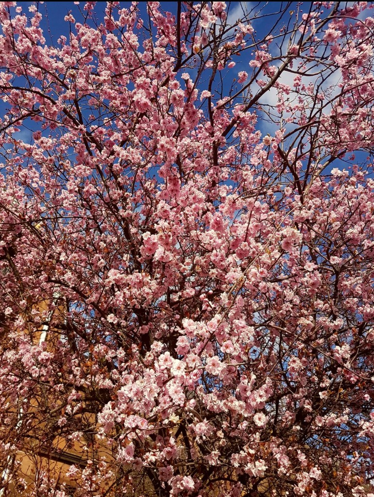 Ferry Road blossom