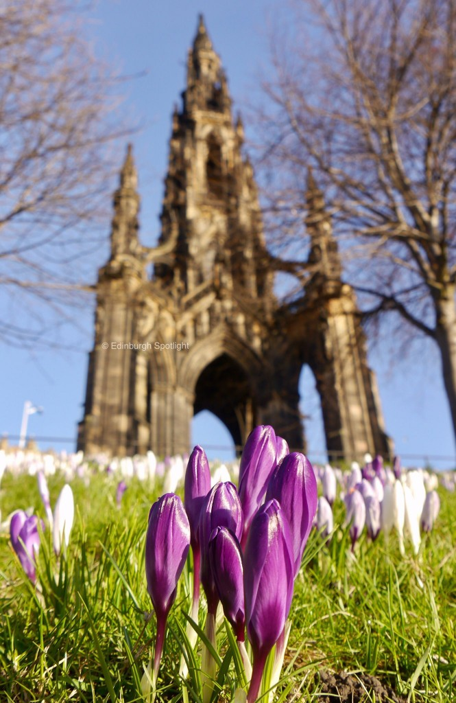 Crocuses below the Scott Monument