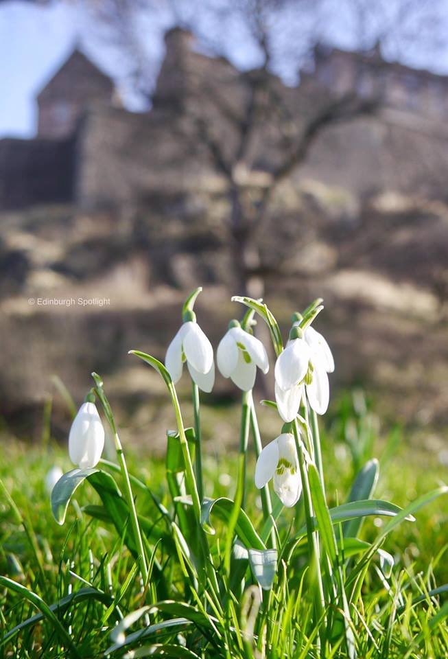 Snowdrops below the Castle