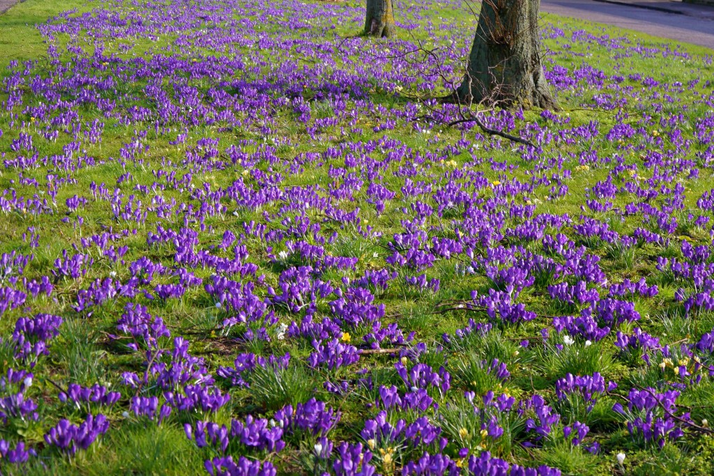 Crocuses galore in Silverknowes and Muirhouse Parkway
