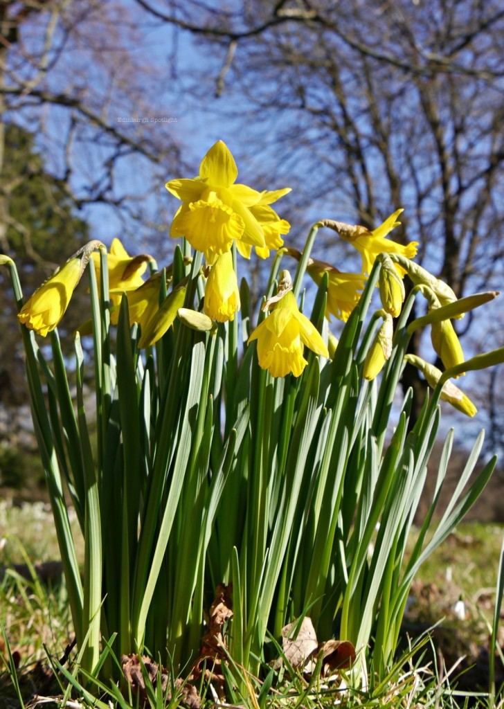 Daffodils in the Botanics.