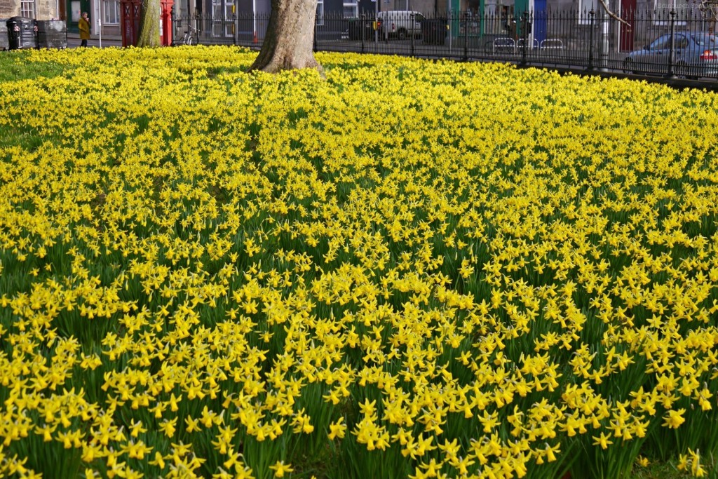Daffodils at The Meadows.