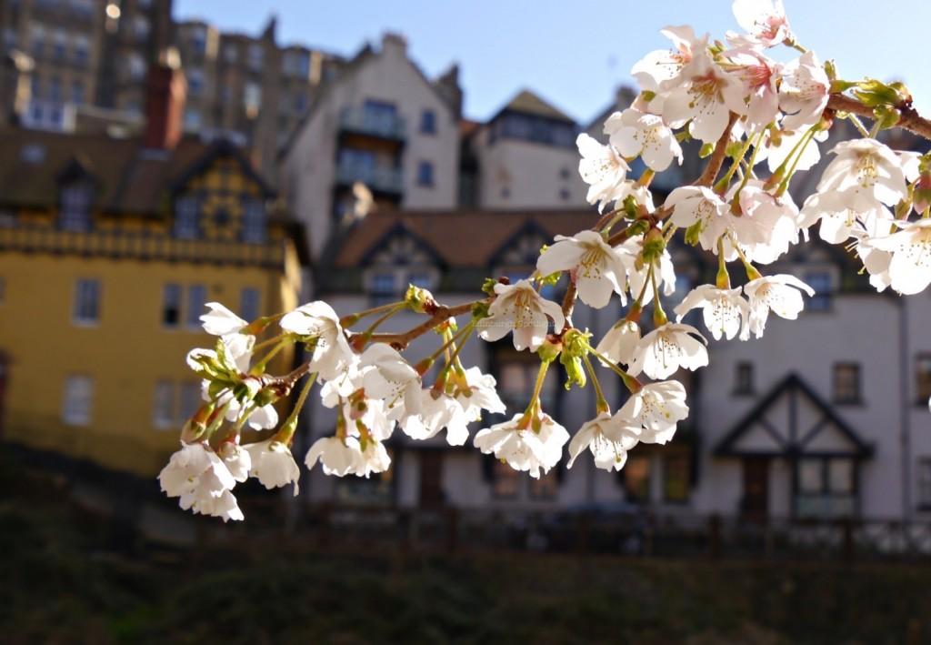 Dean Village blossom