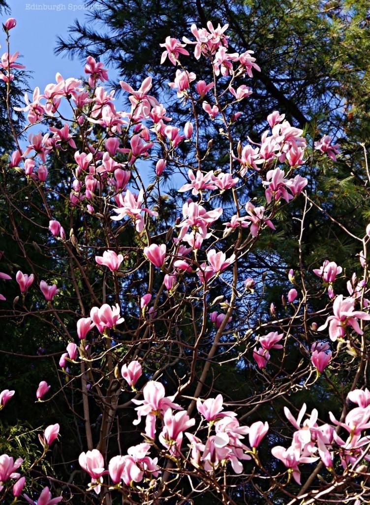 Botanics magnolia