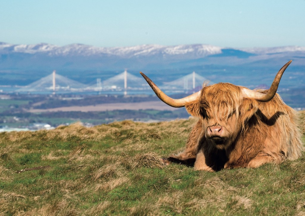 A highland cow up the Pentlands with the Queensferry Crossing in the background